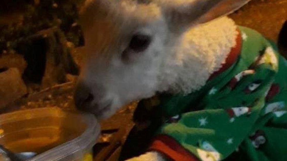 Milagro en Salta: una oveja peregrina viene desde Hipólito Yrigoyen