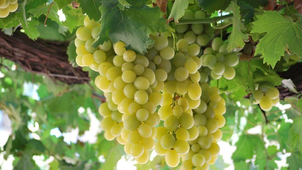 Reconocen una nueva veriedad de uva para elaborar vinos