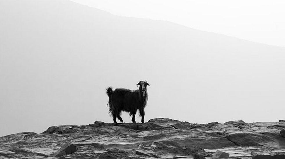 """Una cabra con cara de humano es adorada como """"un regalo de Dios"""" en India"""