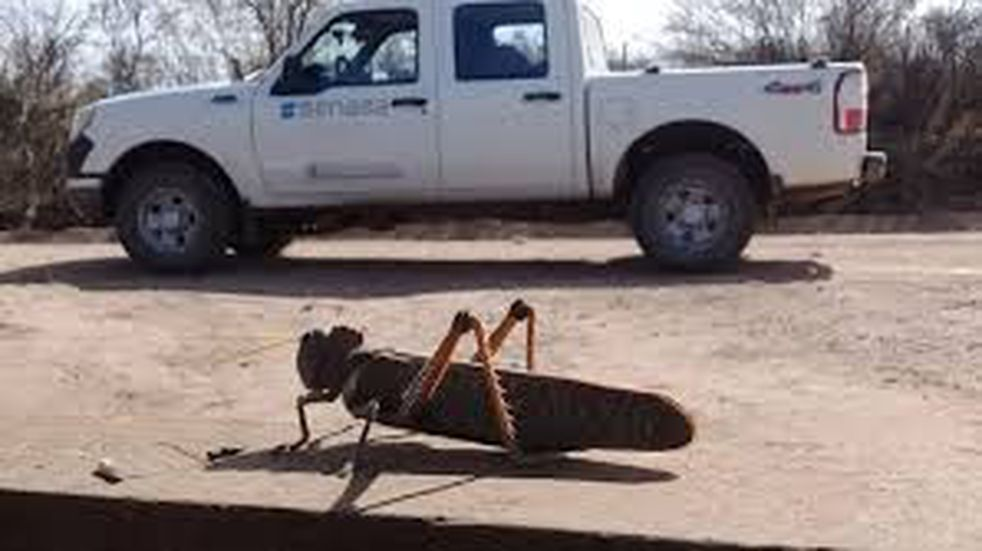 Prosigue el alerta por langostas en Corrientes