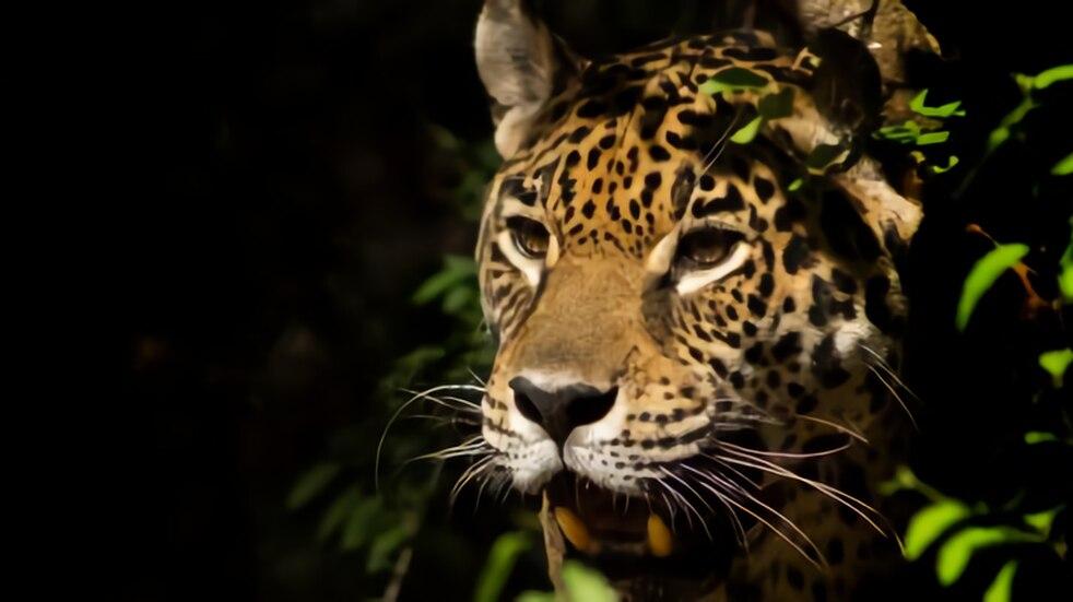Se estima que quedan 20 ejemplares vivos en el Chaco y menos de 250 en Argentina.