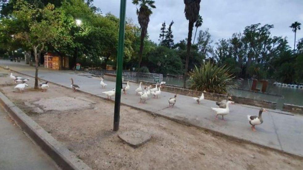 Los patos del parque San Martín aprovecharon la cuarentena y salieron a pasear por el centro salteño