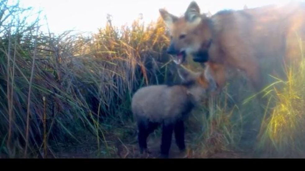 Mirá cómo se monitorea a cachorros aguará guazú en el Parque Iberá