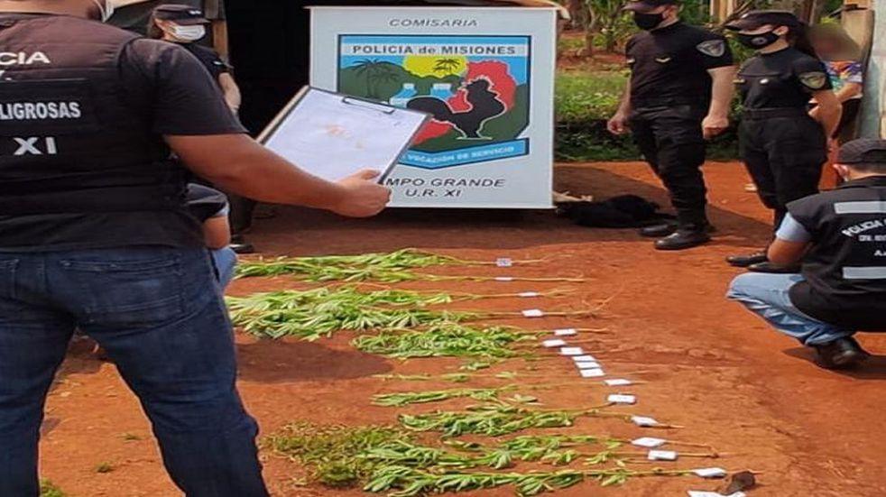 Secuestraron plantines de marihuana en Campo Grande.