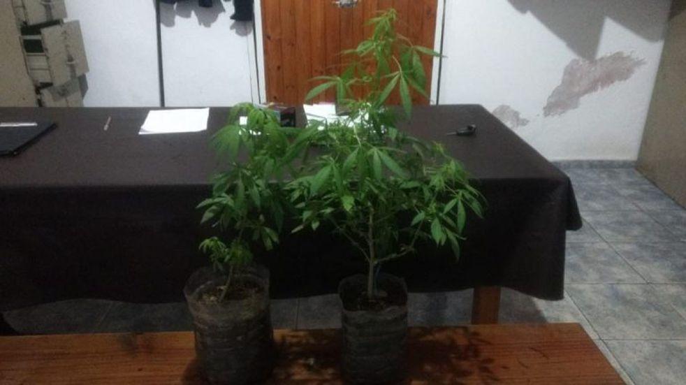 Arrojaron dos macetas con plantas de Cannabis, y huyeron
