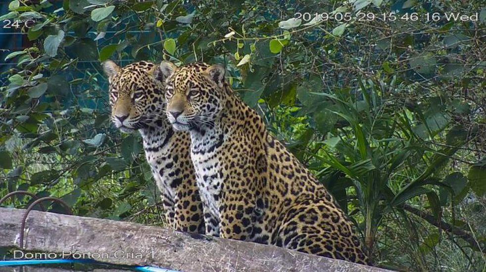 Luego de 3 años confirmaron que ambos yaguaretés insertados en el Iberá son hembras