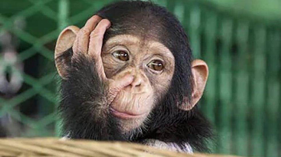 Un chimpancé se reúne con la mujer que lo cuidó de bebé y el video se vuelve viral