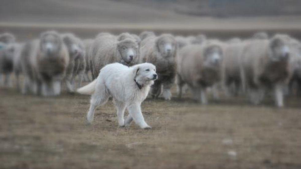 Productores de Andresito recibieron perros para proteger el ganado ovino