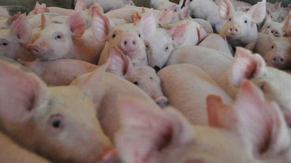 Stock de hacienda porcina en China