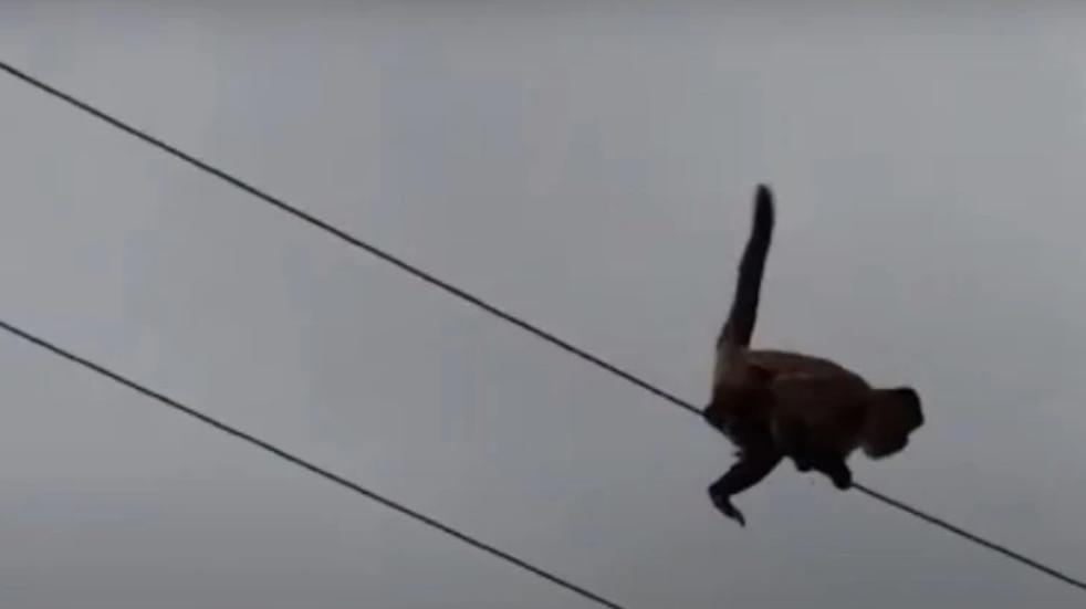 Se escapó un mono del Ecoparque y murió electrocutado en Godoy Cruz