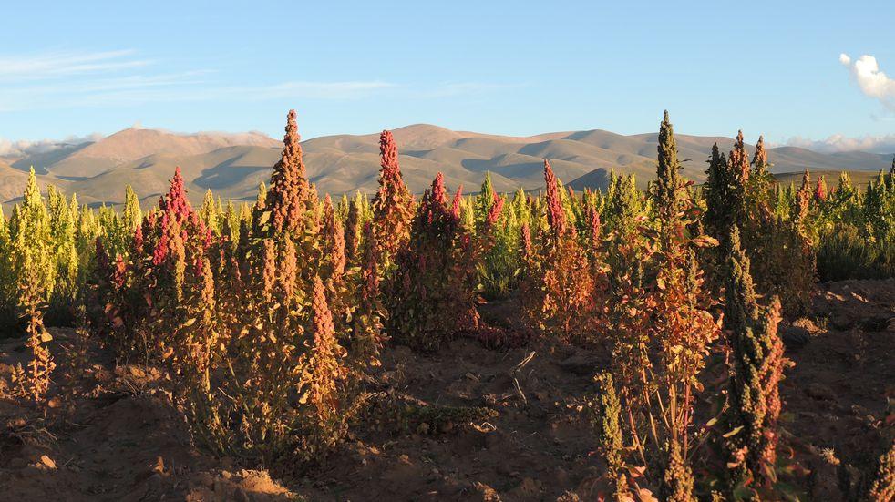 Subsidian a agricultores para producir más quinoa y haba en Jujuy