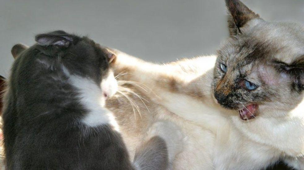 La insólita venganza de un gato que arrojó a otro a la pileta