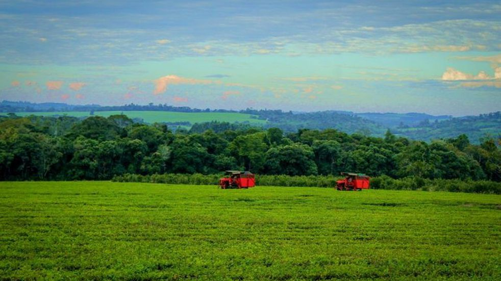 Lanzan una semana dedicada a la agroindustria tealera en Misiones