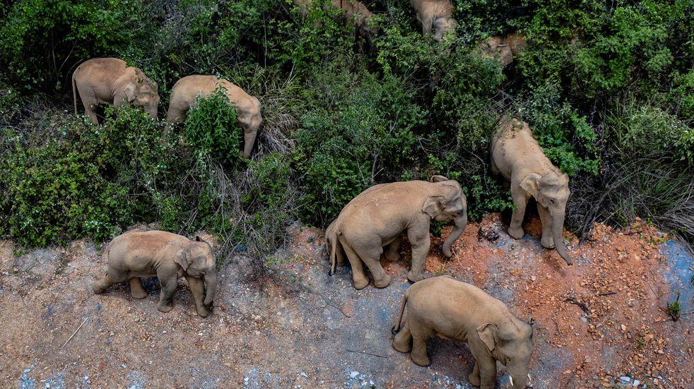 Conmoción en China por una manada de elefantes que vaga por el país hace un año