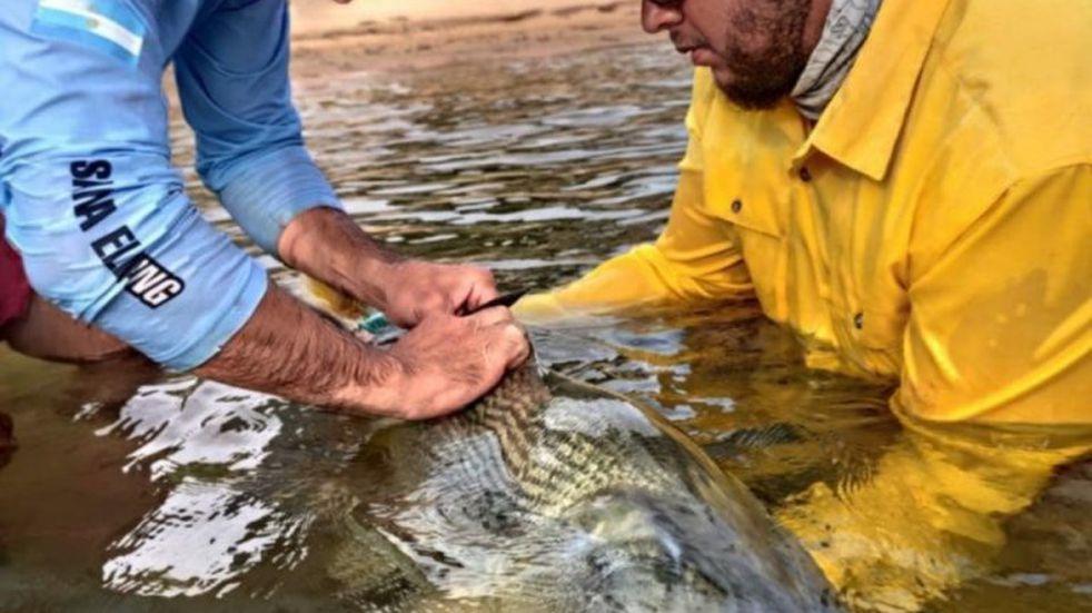 Marcan grandes peces para estudiar su comportamiento