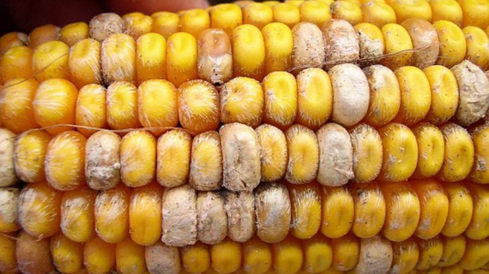 Encuentra muchas micotoxinas en producciones agrícolas