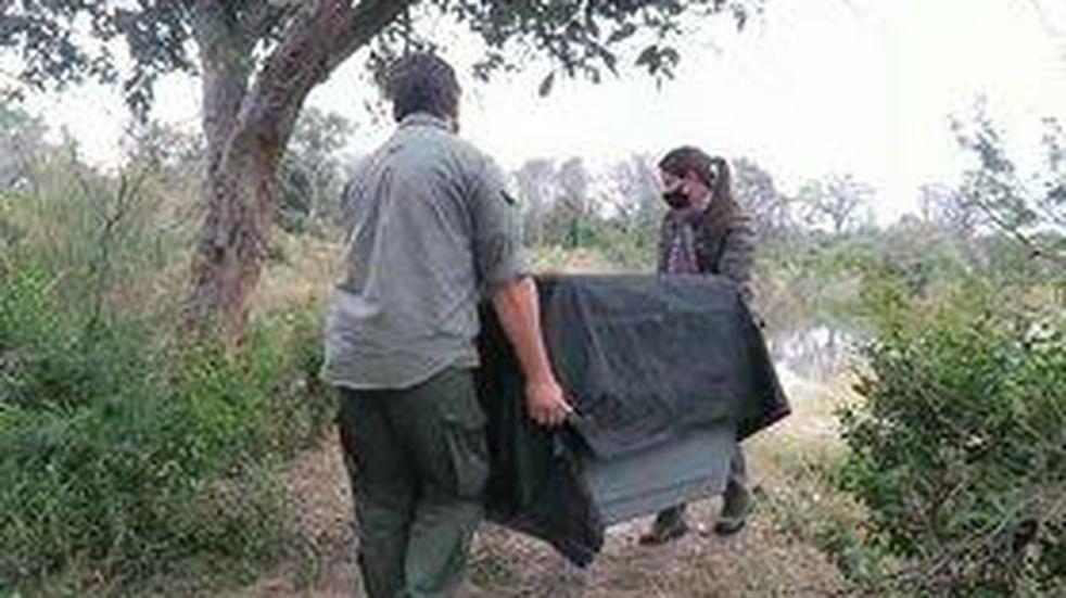 Rescatan animales silvestres en la ciudad de Corrientes: lobito de río y una serpiente curiyú