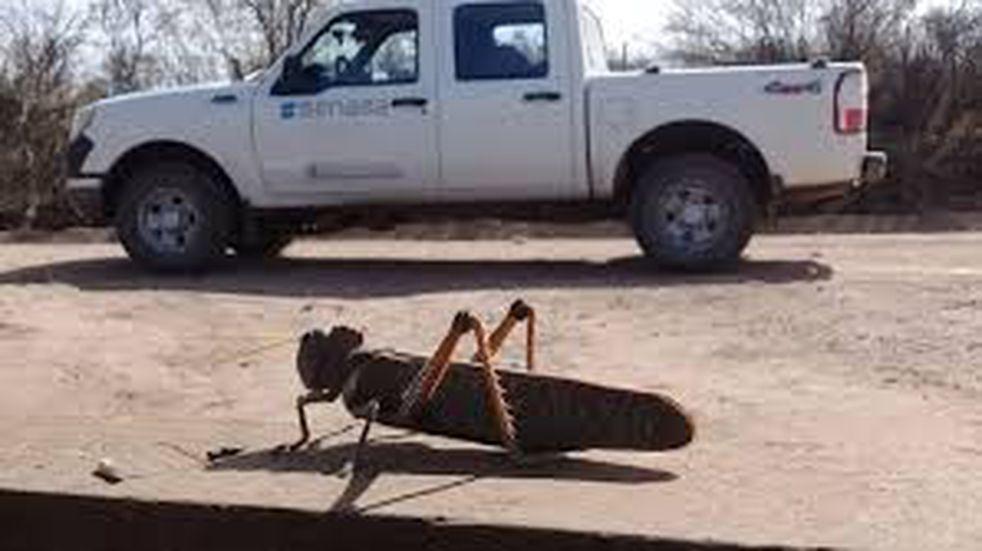 Manga de langostas arrasan en zona productiva de Corrientes