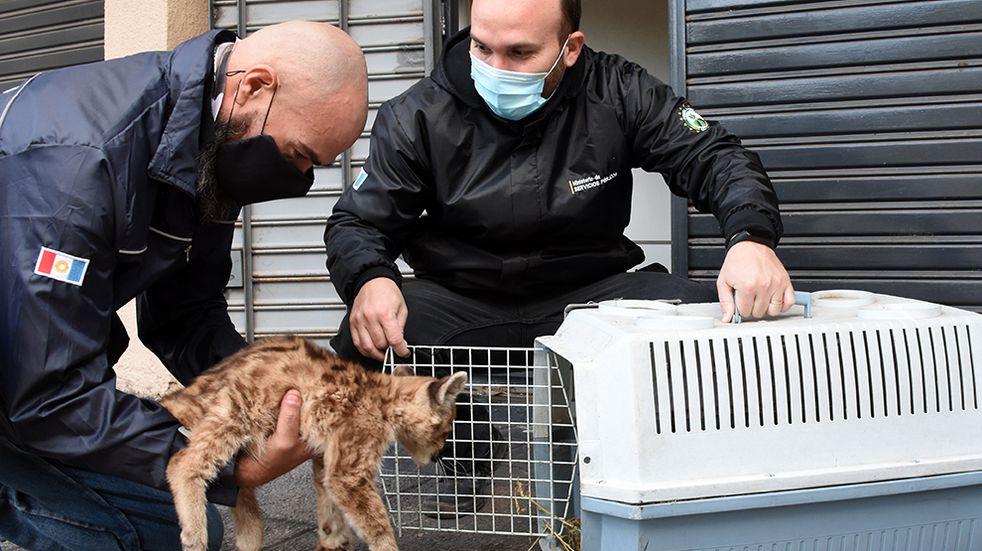 Rescataron a dos cachorros de pumas y sólo uno sobrevivió: fue trasladado a la Reserva Tatú Carreta