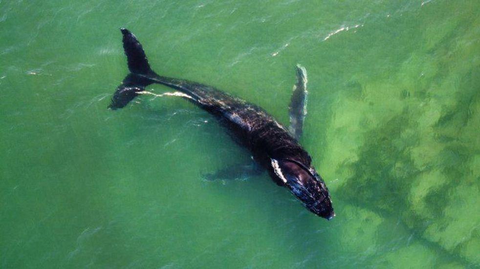 Apareció una ballena jorobada cerca de la costa de Las Grutas