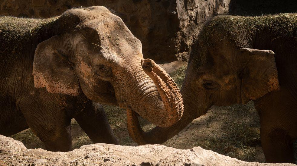 Las elefantas Pocha y Guillermina son las dos que ya están en el santuario brasileño, lugar que fue puesto en tela de juicio por el Habeas Corpus de la organización.