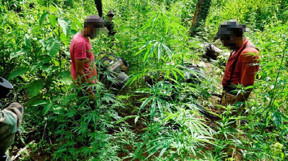 Hallaron una plantación de marihuana en plena selva misionera