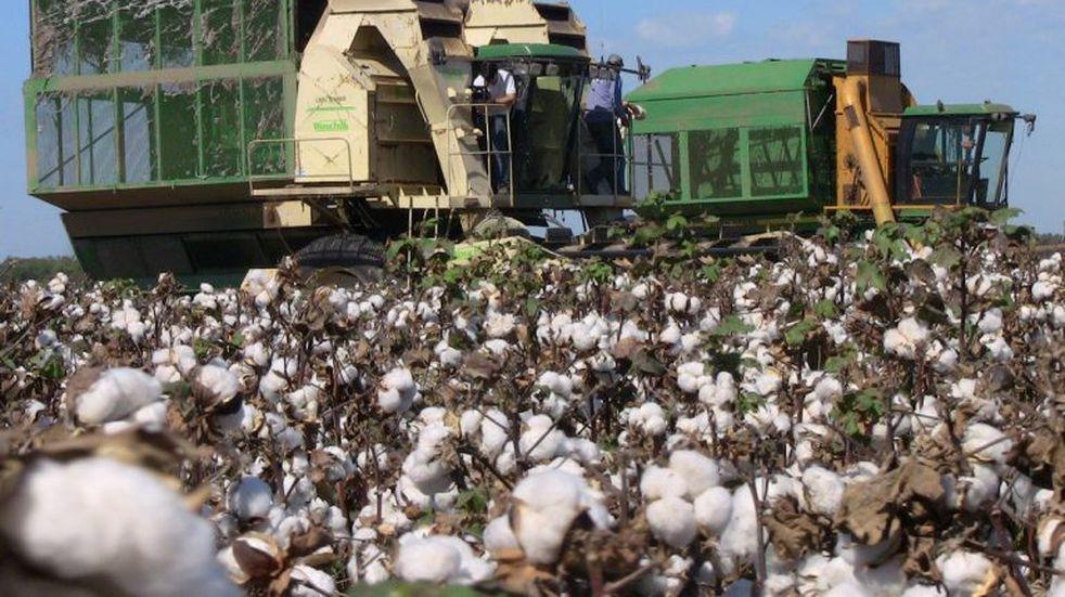 La siembra de algodón en Chaco alcanzó las 150 mil hectáreas