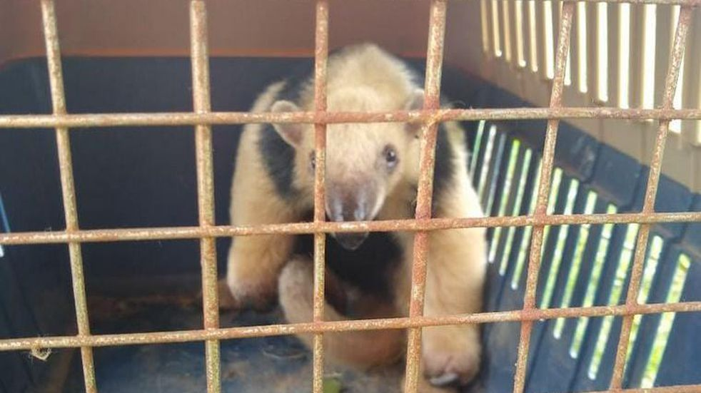 Rescataron a un oso melero en Bell Ville