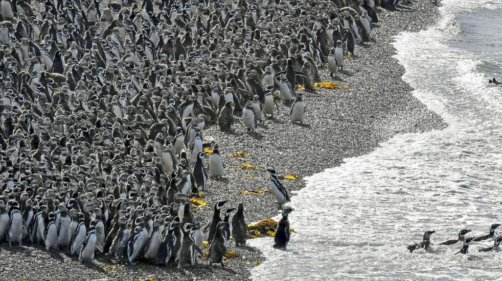 PINGUINOS. En Punta Tombo, este viernes (AP/Maxi Jonas).