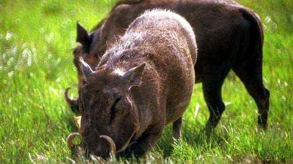 Río Cuarto: enfermaron de triquinosis por comer jabalí de caza