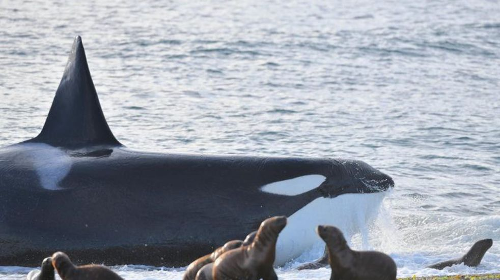 Se abrió la temporada de orcas en Chubut