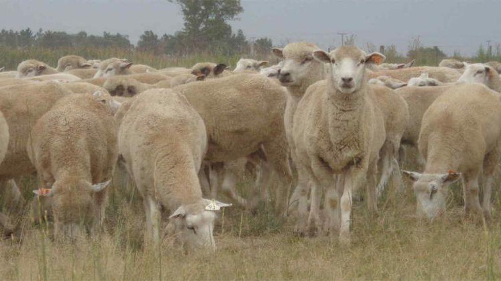 Buscan fortalecer la producción de ovinos y porcinos en la región