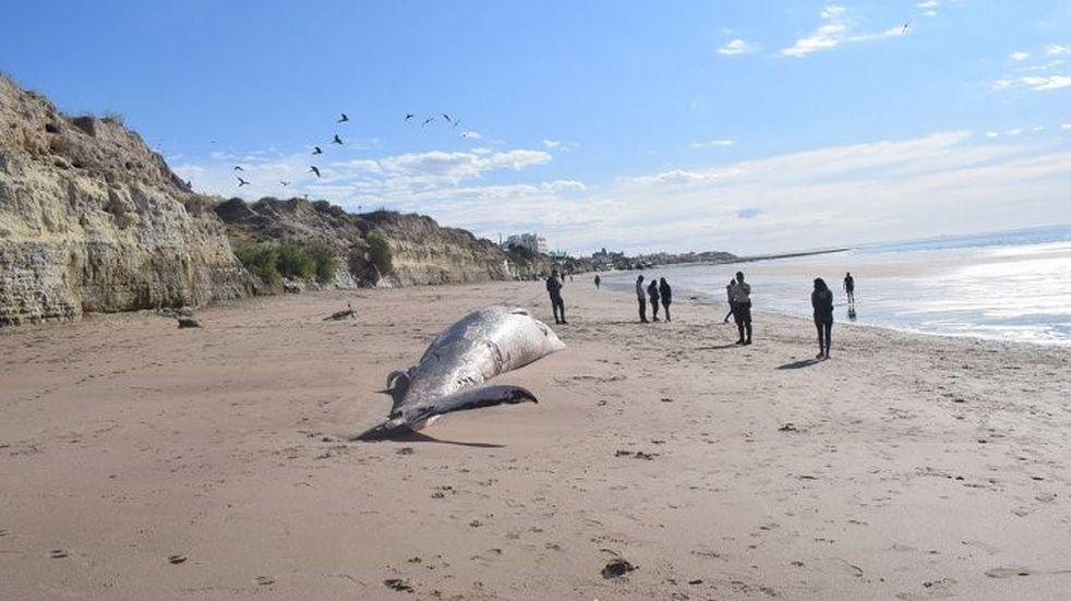Encontraron una ballena muerta en las playas de Las Grutas