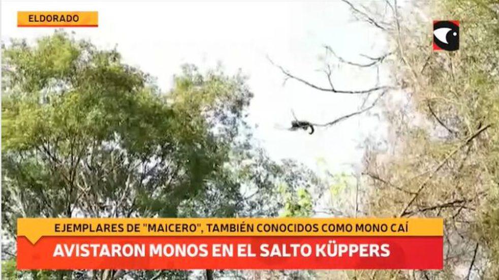Avistaje de monos caí o capuchinos en el Parque Natural Municipal Salto Küppers