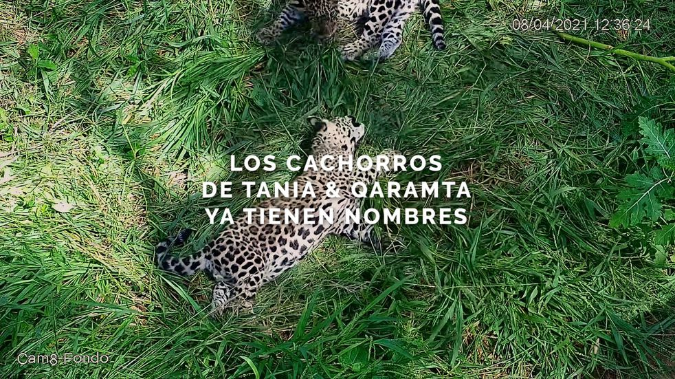 Los cachorros de yaguareté de El Impenetrable ya tienen nombre: Takajay y Nalá