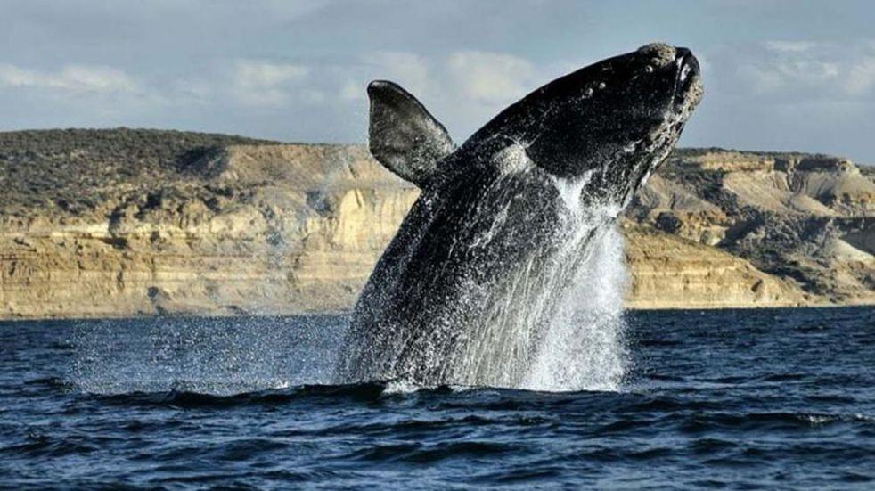 El video de un buzo marisquero que se subió al lomo de una ballena en Río Negro