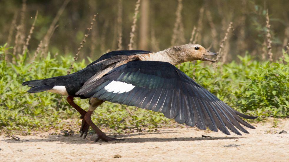 Registraron en Salta una especie de ave que se creía extinta en la región