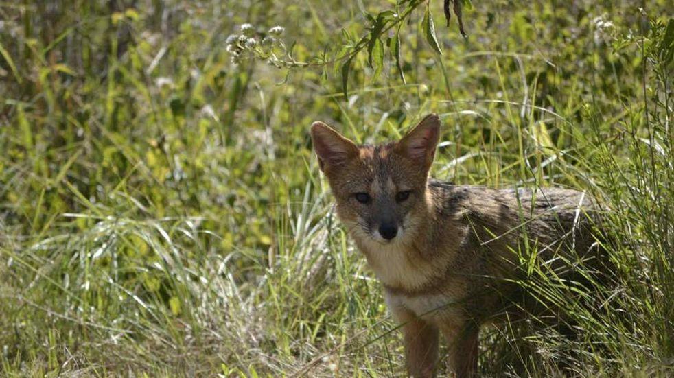 La presencia de zorros es cada vez más frecuente en la zona del Piedemonte mendocino.